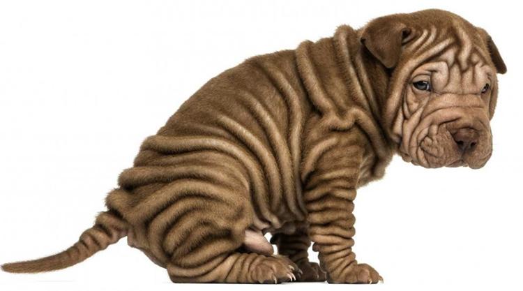 Собака с диареей