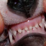 Молочные зубы у собак: когда меняются и как помочь щенку