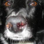 Почему у собаки из носа идет кровь: причины и что делать