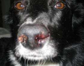 Почему у собаки из носа идет кровь