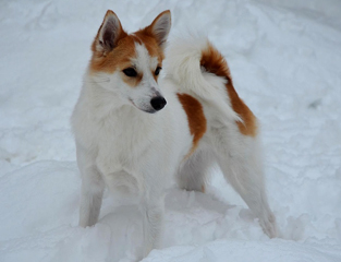 Норботтенская лайка на снегу