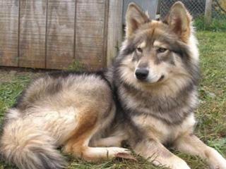 Красивый пес сидит