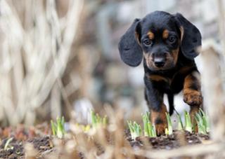 Тирольская гончая - щенок