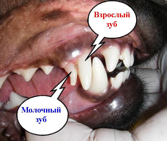 Взрослый и молочный зуб