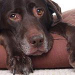Кровь в кале у собаки: причины появления и что делать