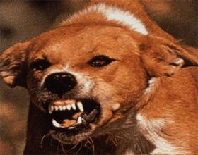 Бешенство у собаки