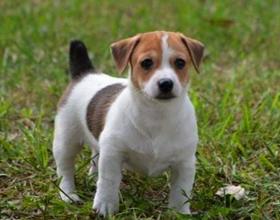 Как выбрать правильно щенка Джек Рассела Терьера