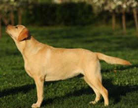 Лангедокская пастушья собака