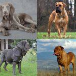 Породы гладкошерстных собак: названия, описание и фото