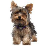 Как выбрать щенка йоркширского терьера и как за ним ухаживать