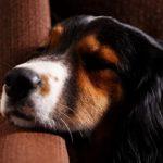 Пиелонефрит у собак: симптомы, диагностика и лечение