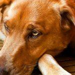 Аскариды у собак: пути заражения, симптомы и лечение